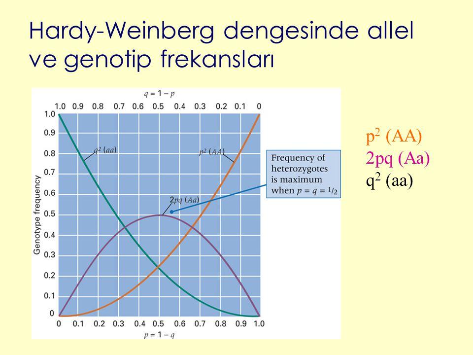 Hardy-Weinberg dengesinde allel ve genotip frekansları p 2 (AA) 2pq (Aa) q 2 (aa)