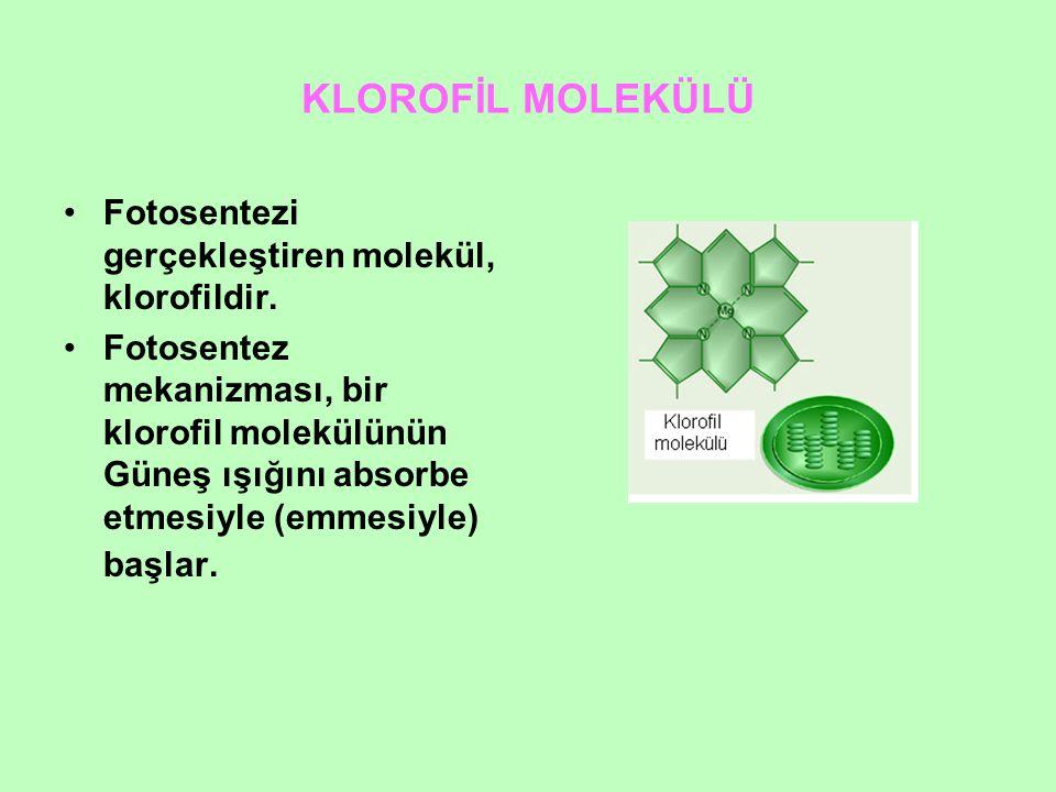 KLOROFİL MOLEKÜLÜ Fotosentezi gerçekleştiren molekül, klorofildir. Fotosentez mekanizması, bir klorofil molekülünün Güneş ışığını absorbe etmesiyle (e