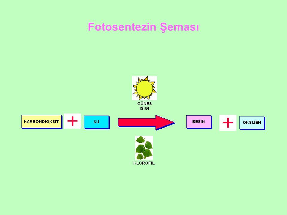 Fotosentezin Şeması