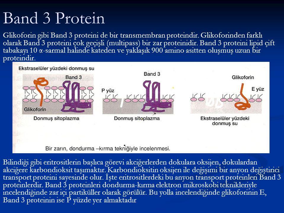 3. Karboksil uç kısım: Polar ve iyonize olmuş yan zincirlerce zengin olup sitoplazmada uzanır ve proteinin zara tutunmasına katkıda bulunur. Bu katkı,