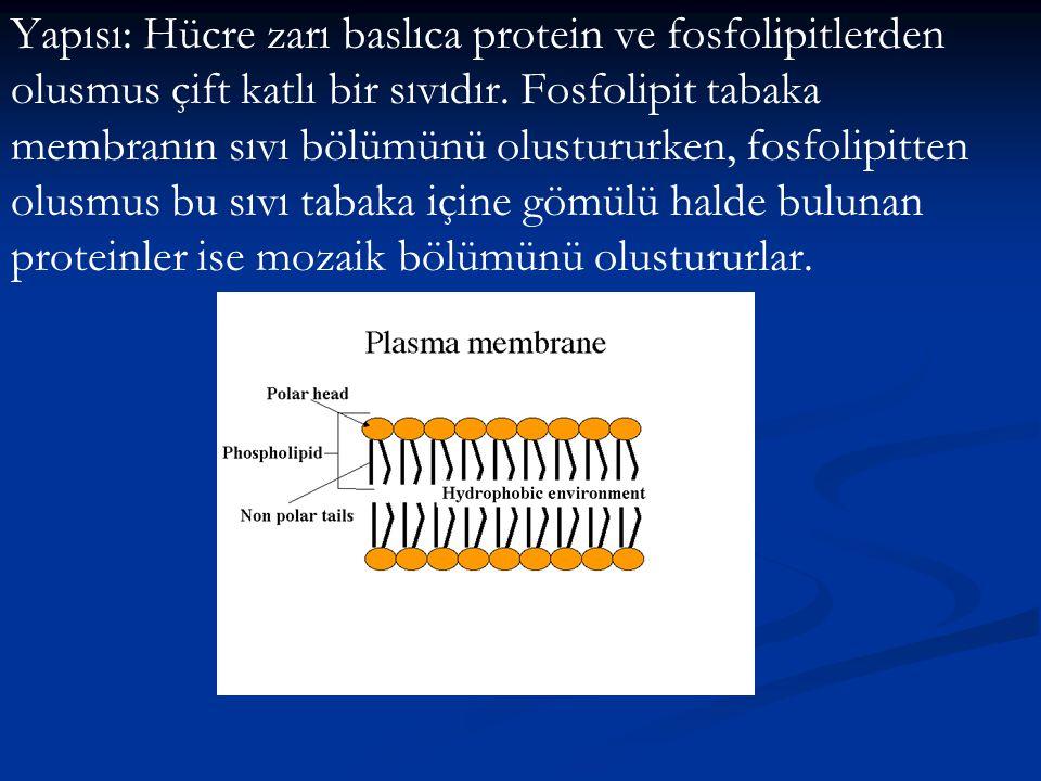 Yapısı: Hücre zarı baslıca protein ve fosfolipitlerden olusmus çift katlı bir sıvıdır.