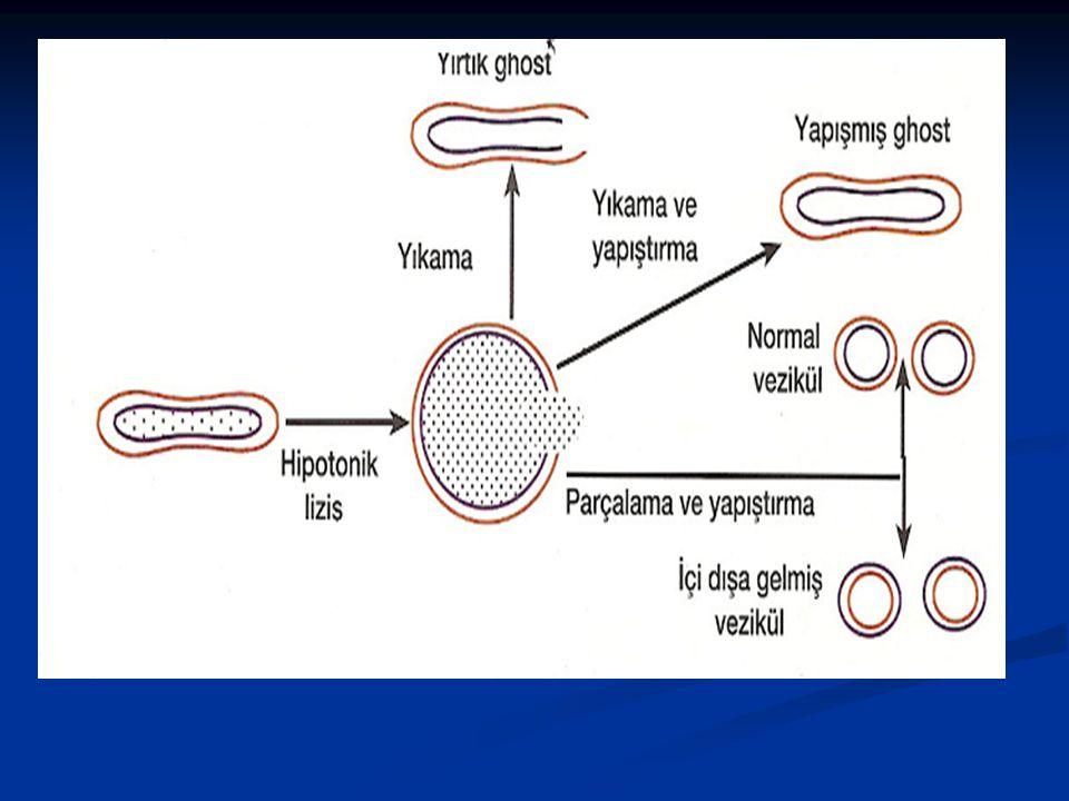 Zar Proteinlerinin Eritrositlerde İncelenmesi Ökaryotik hücrelerde hücre zarı ile yapılan çalışmalarda çoğunlukla kırmızı kan hücreleri kullanılır, çü