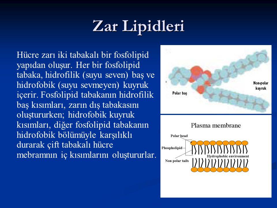 Zar Lipidleri Hücre zarı iki tabakalı bir fosfolipid yapıdan oluşur.