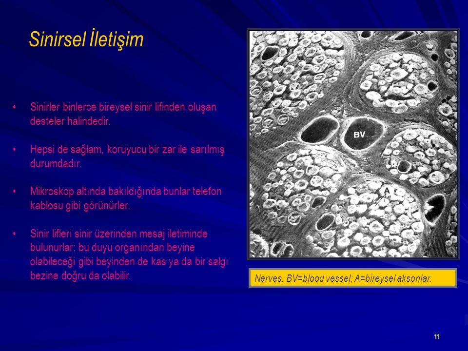 11 Nerves. BV=blood vessel; A=bireysel aksonlar. Sinirsel İletişim Sinirler binlerce bireysel sinir lifinden oluşan desteler halindedir. Hepsi de sağl