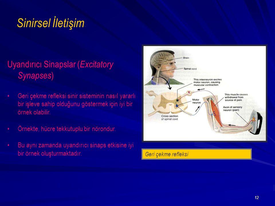 12 Uyandırıcı Sinapslar ( Excitatory Synapses ) Geri çekme refleksi sinir sisteminin nasıl yararlı bir işleve sahip olduğunu göstermek için iyi bir ör