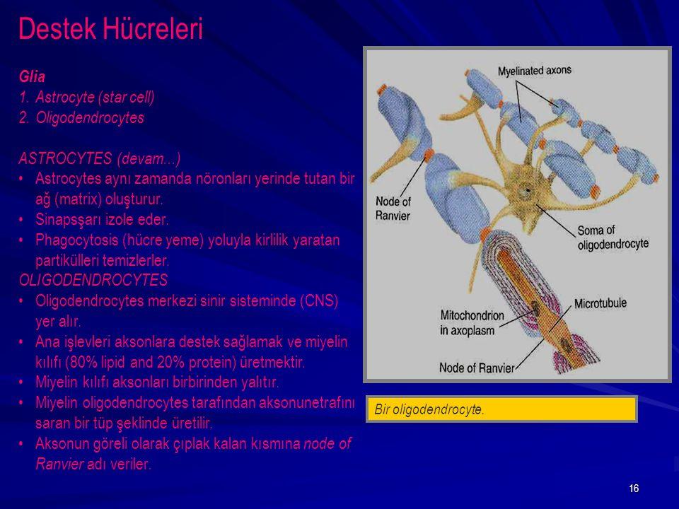 16 Bir oligodendrocyte. Destek Hücreleri Glia 1.Astrocyte (star cell) 2.Oligodendrocytes ASTROCYTES (devam...) Astrocytes aynı zamanda nöronları yerin