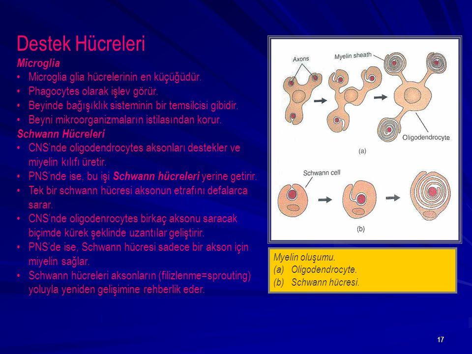 17 Myelin oluşumu. (a)Oligodendrocyte. (b)Schwann hücresi. Destek Hücreleri Microglia Microglia glia hücrelerinin en küçüğüdür. Phagocytes olarak işle
