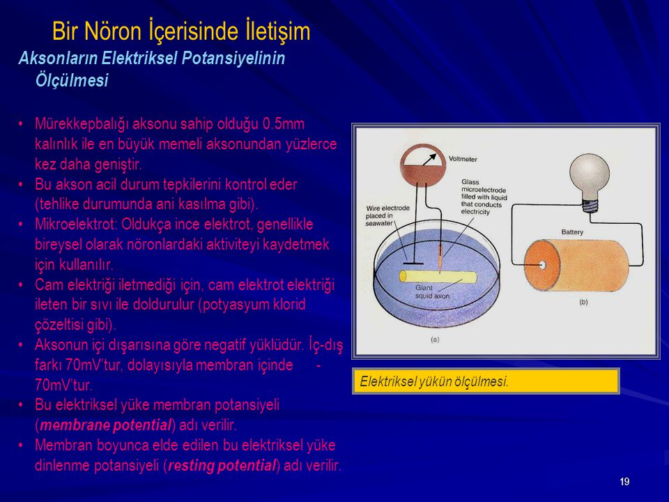 19 Elektriksel yükün ölçülmesi. Bir Nöron İçerisinde İletişim Aksonların Elektriksel Potansiyelinin Ölçülmesi Mürekkepbalığı aksonu sahip olduğu 0.5mm