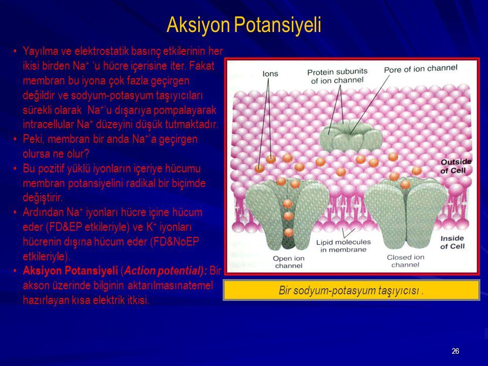 26 Aksiyon Potansiyeli Bir sodyum-potasyum taşıyıcısı. Yayılma ve elektrostatik basınç etkilerinin her ikisi birden Na + 'u hücre içerisine iter. Faka