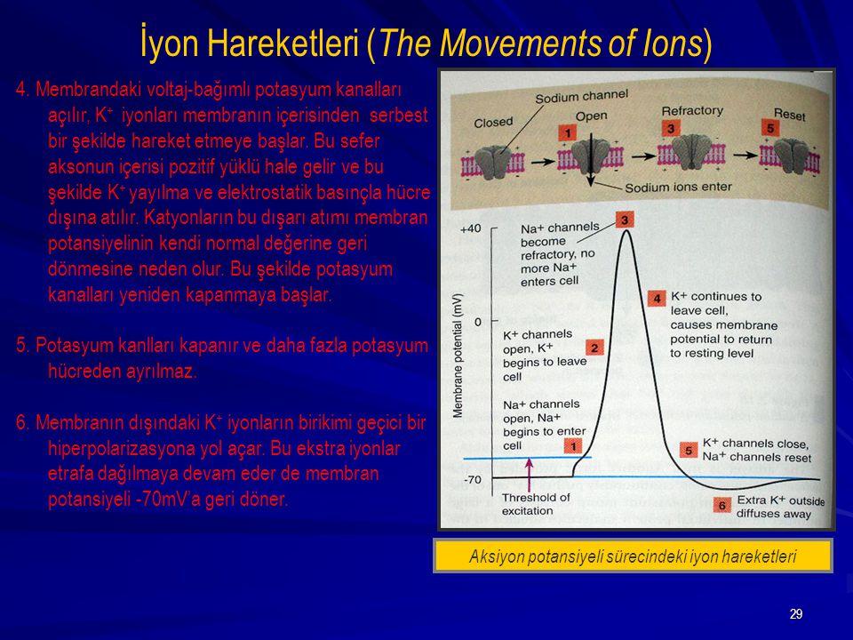 29 İyon Hareketleri ( The Movements of Ions ) 4. Membrandaki voltaj-bağımlı potasyum kanalları açılır, K + iyonları membranın içerisinden serbest bir