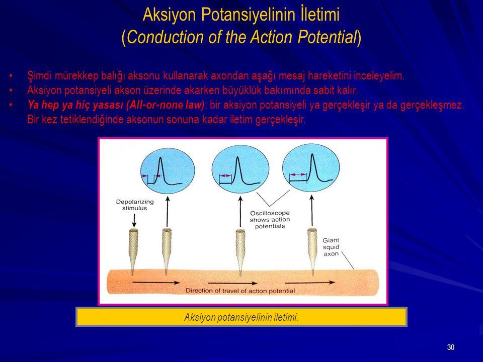 30 Şimdi mürekkep balığı aksonu kullanarak axondan aşağı mesaj hareketini inceleyelim. Aksiyon potansiyeli akson üzerinde akarken büyüklük bakımında s