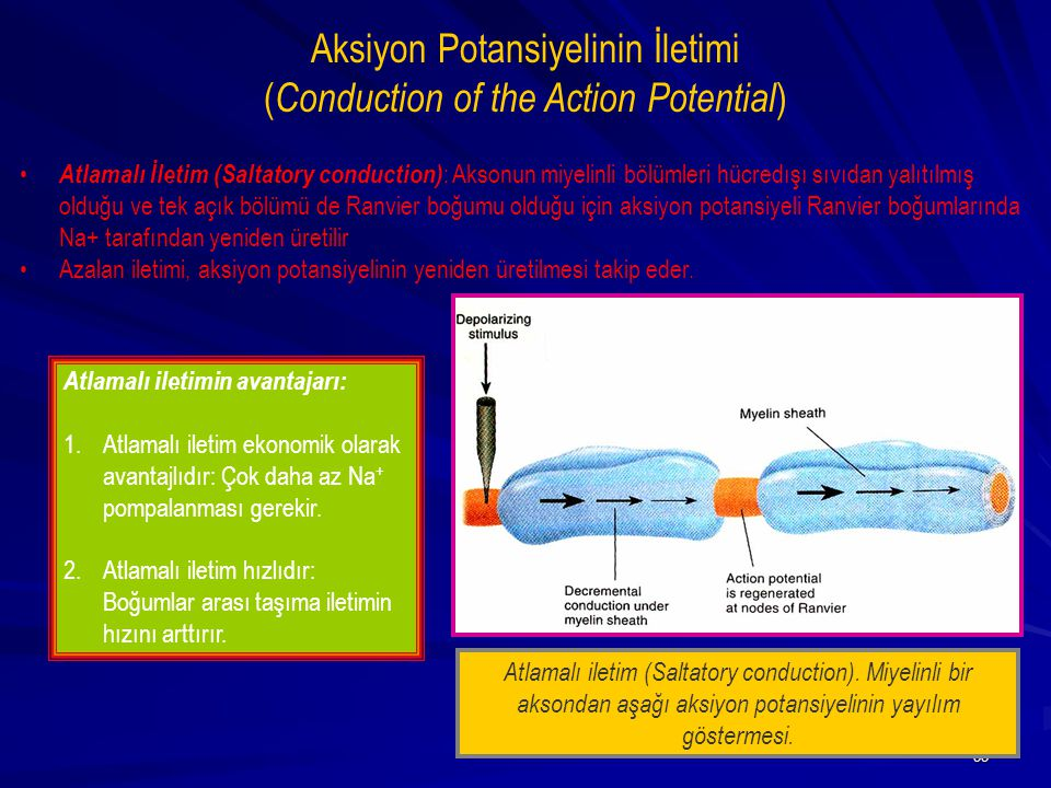 33 Aksiyon Potansiyelinin İletimi ( Conduction of the Action Potential ) Atlamalı İletim (Saltatory conduction) : Aksonun miyelinli bölümleri hücredış