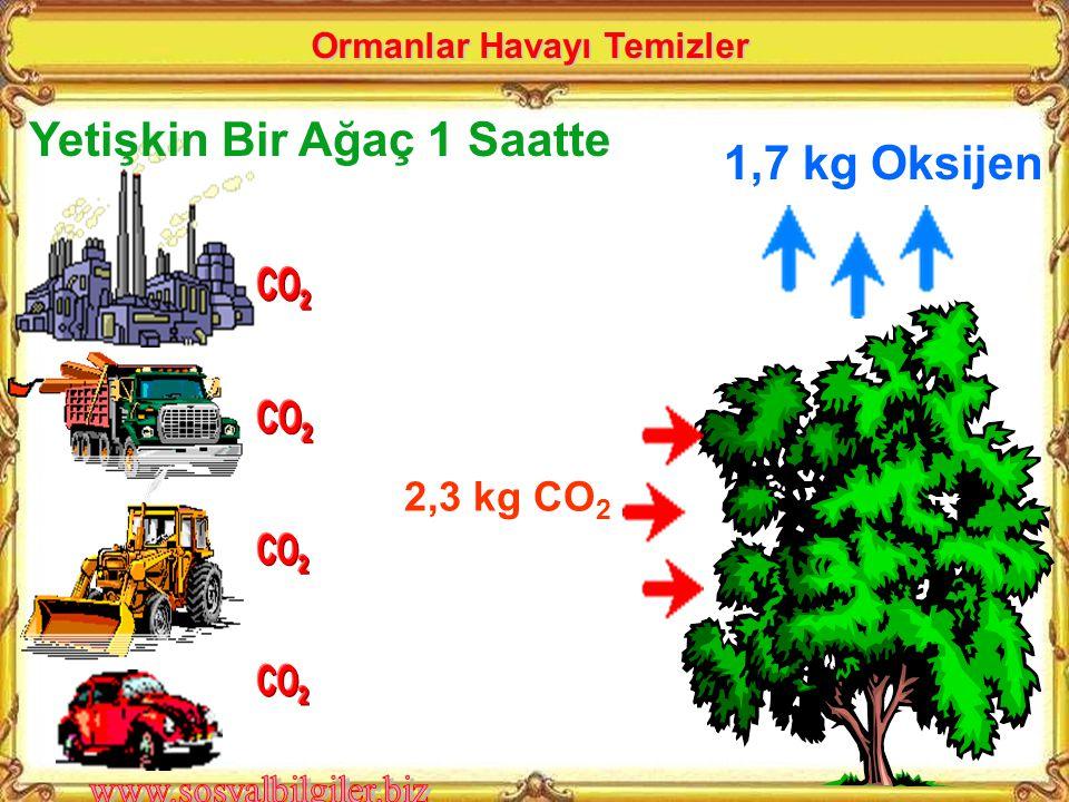 1,7 kg Oksijen 2,3 kg CO 2 Yetişkin Bir Ağaç 1 Saatte Ormanlar Havayı Temizler
