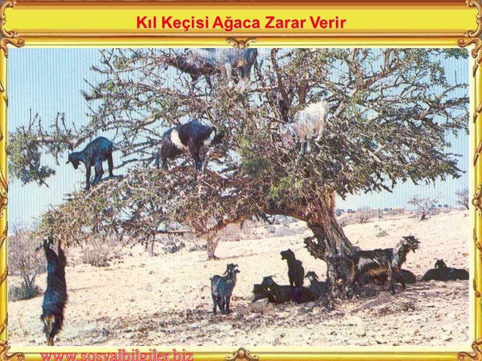 Kıl Keçisi Ağaca Zarar Verir