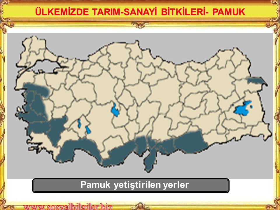 En çok hangi bölgede yetiştirilmektedir? GAP projesi ile Güney Doğu Anadolu'daki toprakların sulanabilmesi ile pamuk üretimi bu bölgede artmıştır ÜLKE