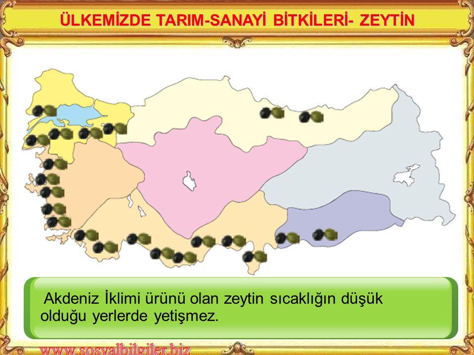 En çok hangi bölgede yetiştirilmektedir?Hangi bölgemizde hiç üretimi yoktur? Akdeniz ve Marmara bölgesi ile kıyı Ege'de neden şeker Pancarı üretilmeme