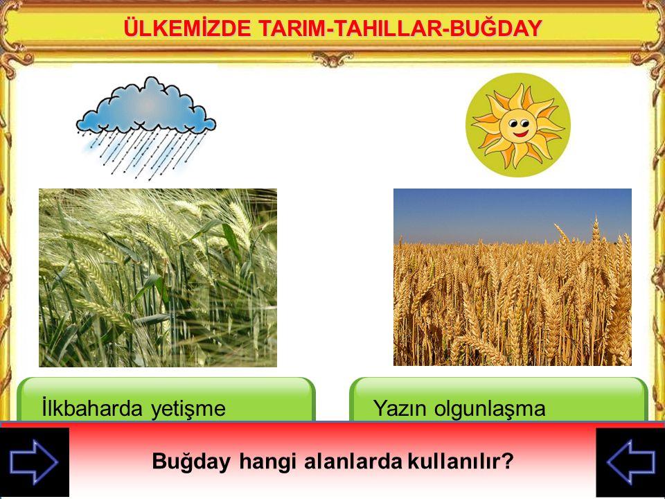 ÜLKEMİZDE TARIM-TAHILLAR-BUĞDAY İlkbaharda yetişme döneminde bol su ister Yazın olgunlaşma döneminde bol sıcaklık ister Buğday hangi alanlarda kullanılır?