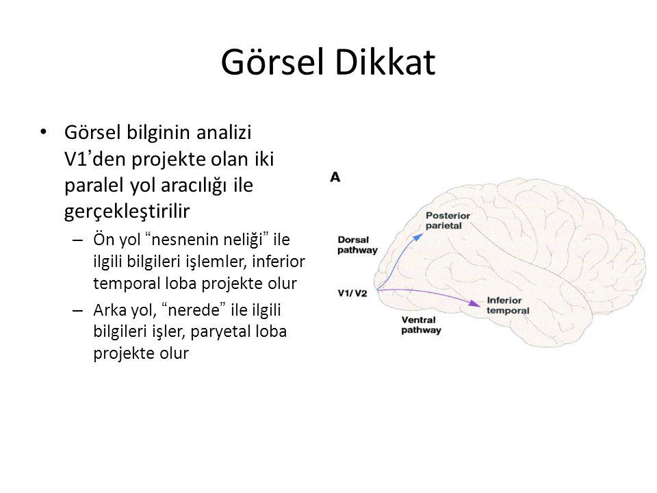 Görsel Dikkat Görsel bilginin analizi V1 ' den projekte olan iki paralel yol aracılığı ile gerçekleştirilir – Ön yol nesnenin neliği ile ilgili bilgileri işlemler, inferior temporal loba projekte olur – Arka yol, nerede ile ilgili bilgileri işler, paryetal loba projekte olur