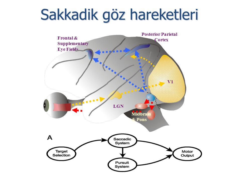 Sakkadik göz hareketleri LGN Superior Colliculus Midbrain & Pons Posterior Parietal Cortex Frontal & Supplementary Eye Fields V1