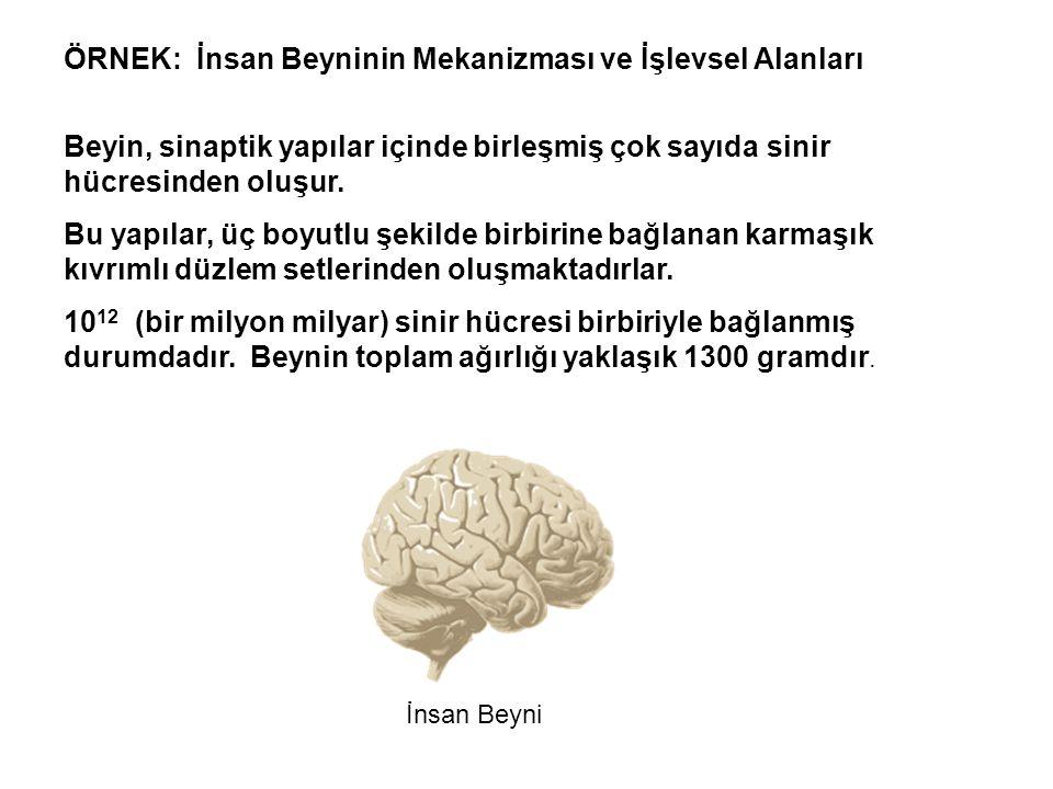 ÖRNEK: İnsan Beyninin Mekanizması ve İşlevsel Alanları İnsan Beyni Beyin, sinaptik yapılar içinde birleşmiş çok sayıda sinir hücresinden oluşur.