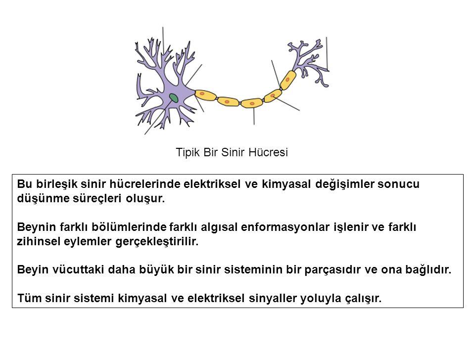 Tipik Bir Sinir Hücresi Bu birleşik sinir hücrelerinde elektriksel ve kimyasal değişimler sonucu düşünme süreçleri oluşur.