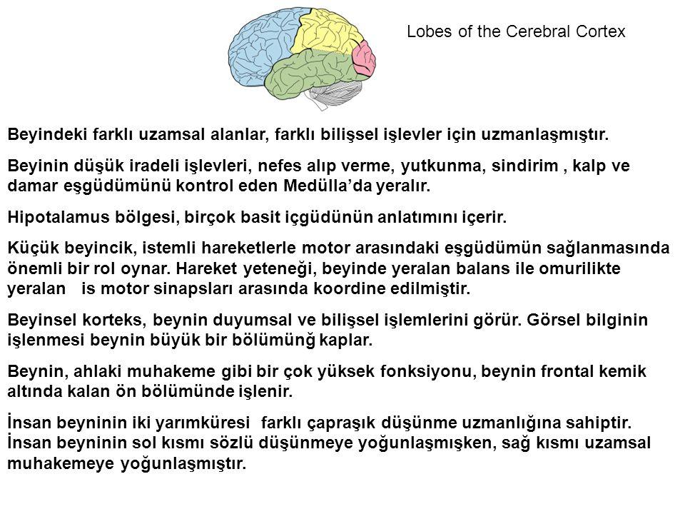 Lobes of the Cerebral Cortex Beyindeki farklı uzamsal alanlar, farklı bilişsel işlevler için uzmanlaşmıştır.