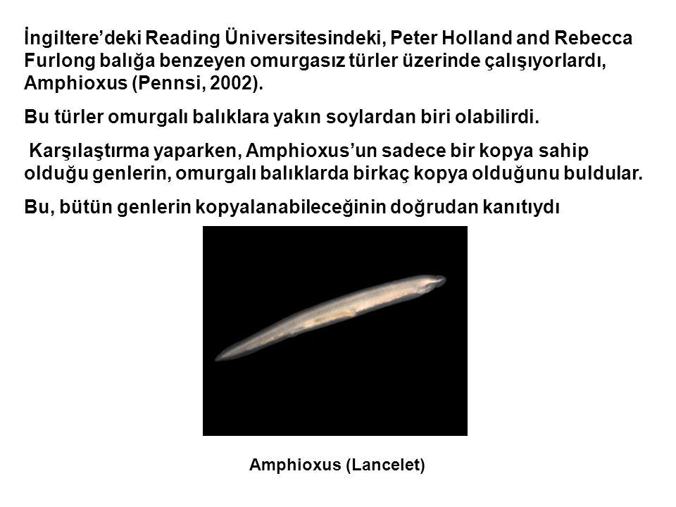 İngiltere'deki Reading Üniversitesindeki, Peter Holland and Rebecca Furlong balığa benzeyen omurgasız türler üzerinde çalışıyorlardı, Amphioxus (Pennsi, 2002).