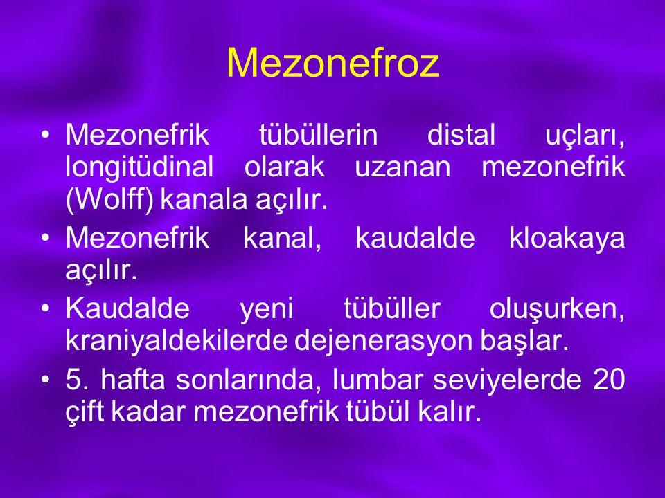 Mezonefroz Mezonefrik tübüllerin distal uçları, longitüdinal olarak uzanan mezonefrik (Wolff) kanala açılır. Mezonefrik kanal, kaudalde kloakaya açılı