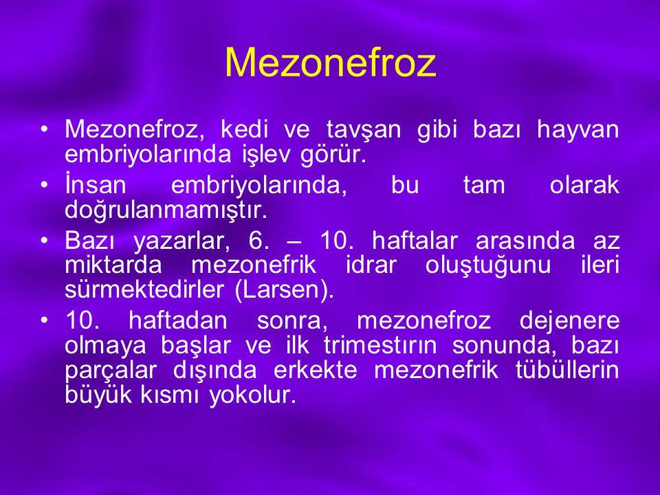 Mezonefroz Mezonefroz, kedi ve tavşan gibi bazı hayvan embriyolarında işlev görür. İnsan embriyolarında, bu tam olarak doğrulanmamıştır. Bazı yazarlar