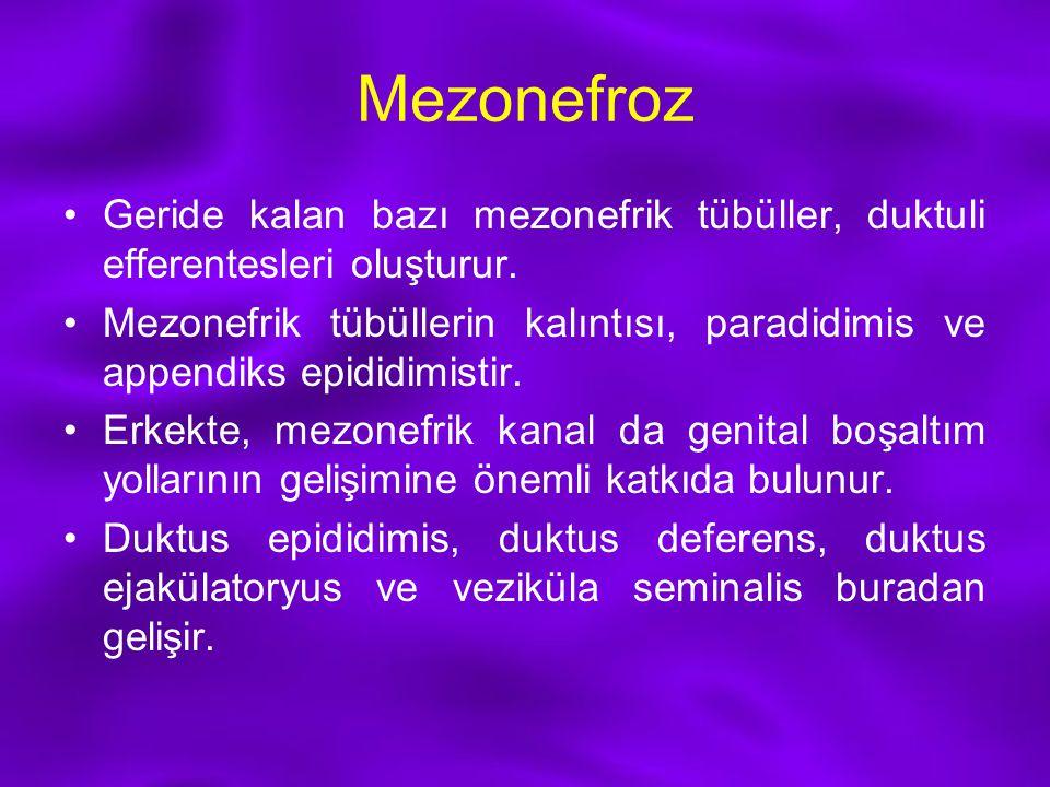 Mezonefroz Geride kalan bazı mezonefrik tübüller, duktuli efferentesleri oluşturur. Mezonefrik tübüllerin kalıntısı, paradidimis ve appendiks epididim