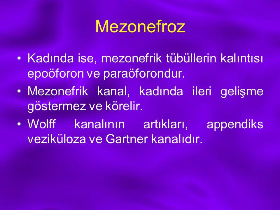 Mezonefroz Kadında ise, mezonefrik tübüllerin kalıntısı epoöforon ve paraöforondur. Mezonefrik kanal, kadında ileri gelişme göstermez ve körelir. Wolf