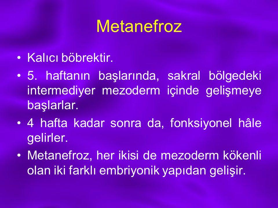 Metanefroz Kalıcı böbrektir. 5. haftanın başlarında, sakral bölgedeki intermediyer mezoderm içinde gelişmeye başlarlar. 4 hafta kadar sonra da, fonksi