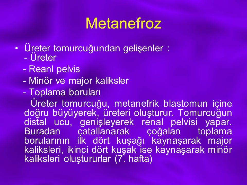 Metanefroz Üreter tomurcuğundan gelişenler : - Üreter - Reanl pelvis - Minör ve major kaliksler - Toplama boruları Üreter tomurcuğu, metanefrik blasto