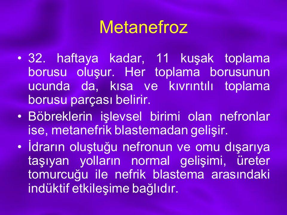 Metanefroz 32. haftaya kadar, 11 kuşak toplama borusu oluşur. Her toplama borusunun ucunda da, kısa ve kıvrıntılı toplama borusu parçası belirir. Böbr