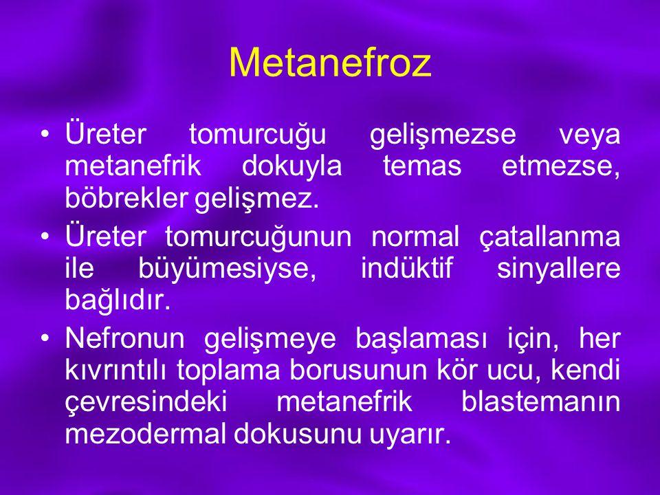 Metanefroz Üreter tomurcuğu gelişmezse veya metanefrik dokuyla temas etmezse, böbrekler gelişmez. Üreter tomurcuğunun normal çatallanma ile büyümesiys