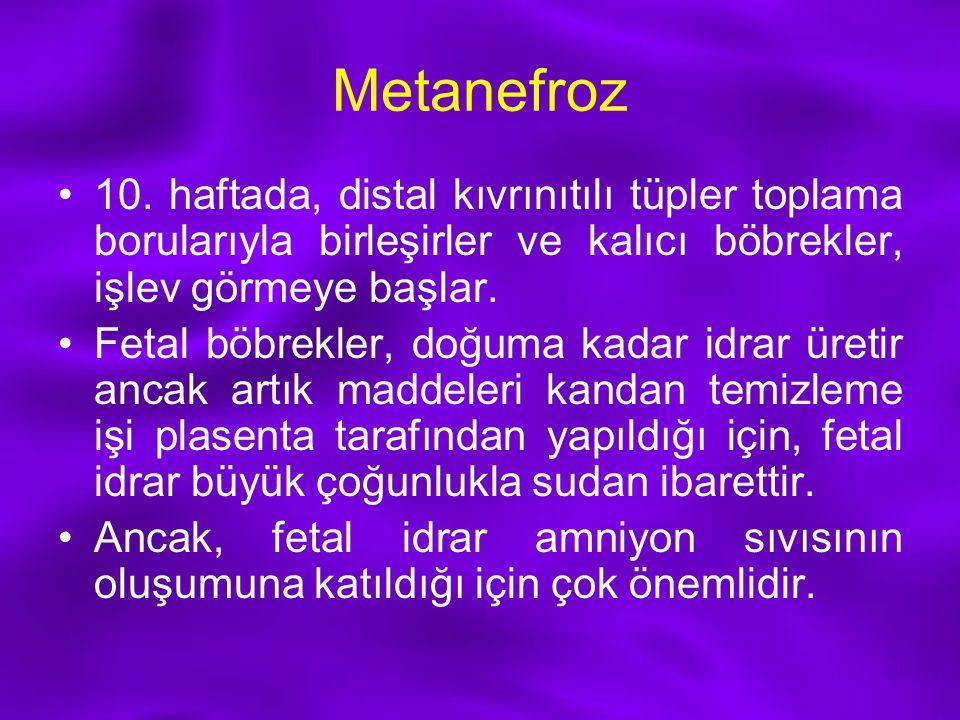 Metanefroz 10. haftada, distal kıvrınıtılı tüpler toplama borularıyla birleşirler ve kalıcı böbrekler, işlev görmeye başlar. Fetal böbrekler, doğuma k