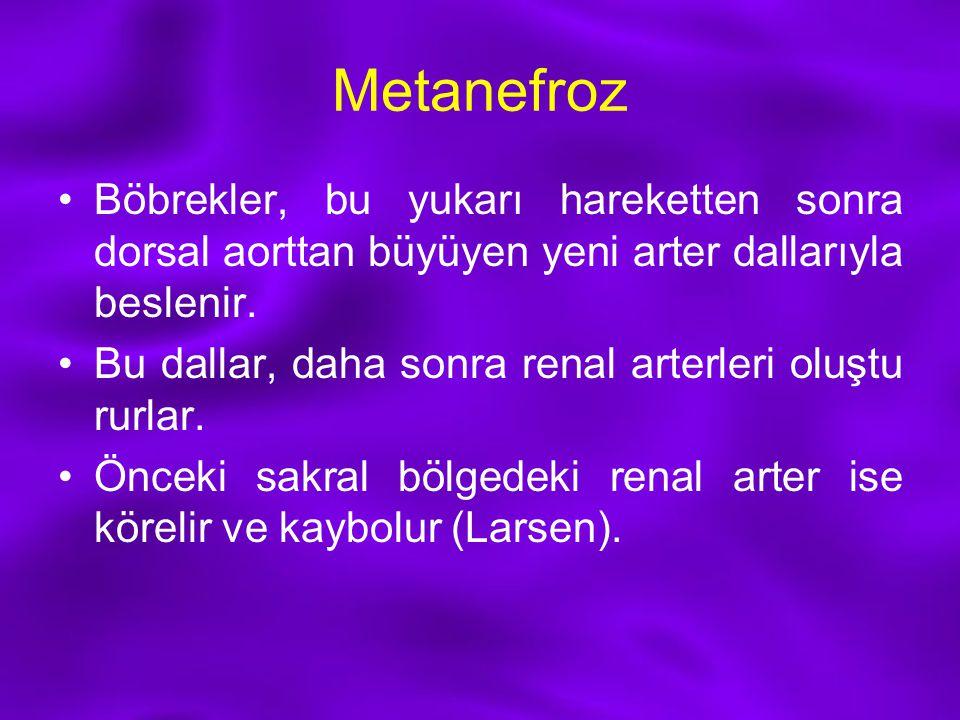 Metanefroz Böbrekler, bu yukarı hareketten sonra dorsal aorttan büyüyen yeni arter dallarıyla beslenir. Bu dallar, daha sonra renal arterleri oluştu r