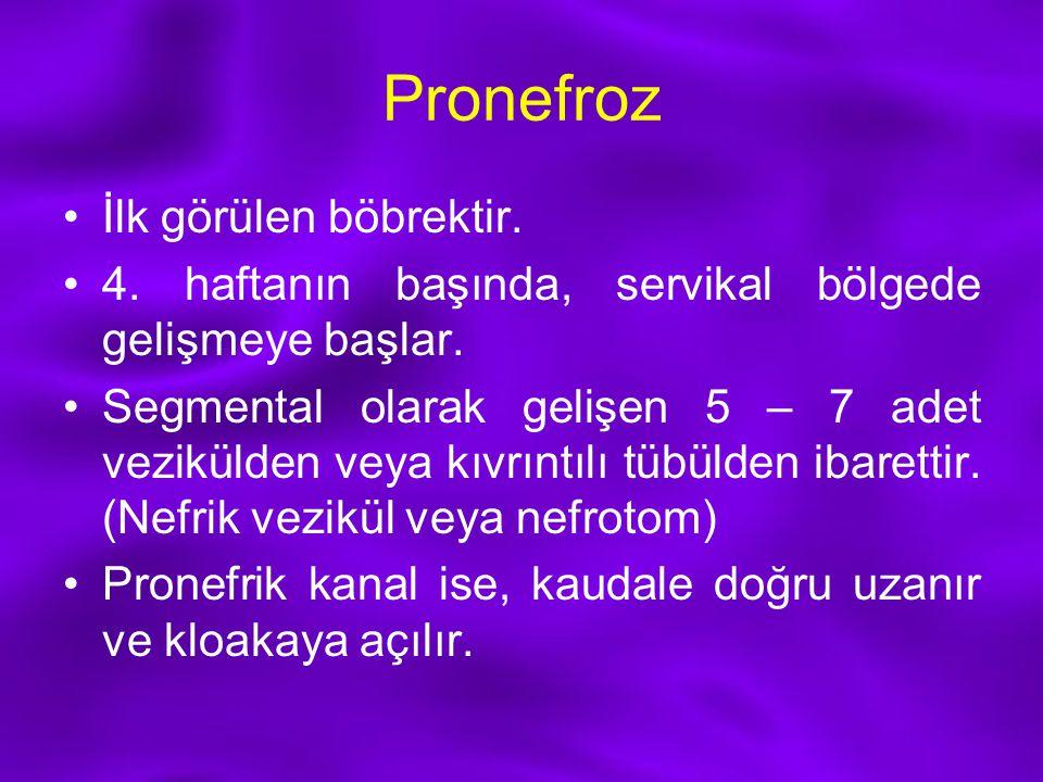 Pronefroz İlk görülen böbrektir. 4. haftanın başında, servikal bölgede gelişmeye başlar. Segmental olarak gelişen 5 – 7 adet vezikülden veya kıvrıntıl