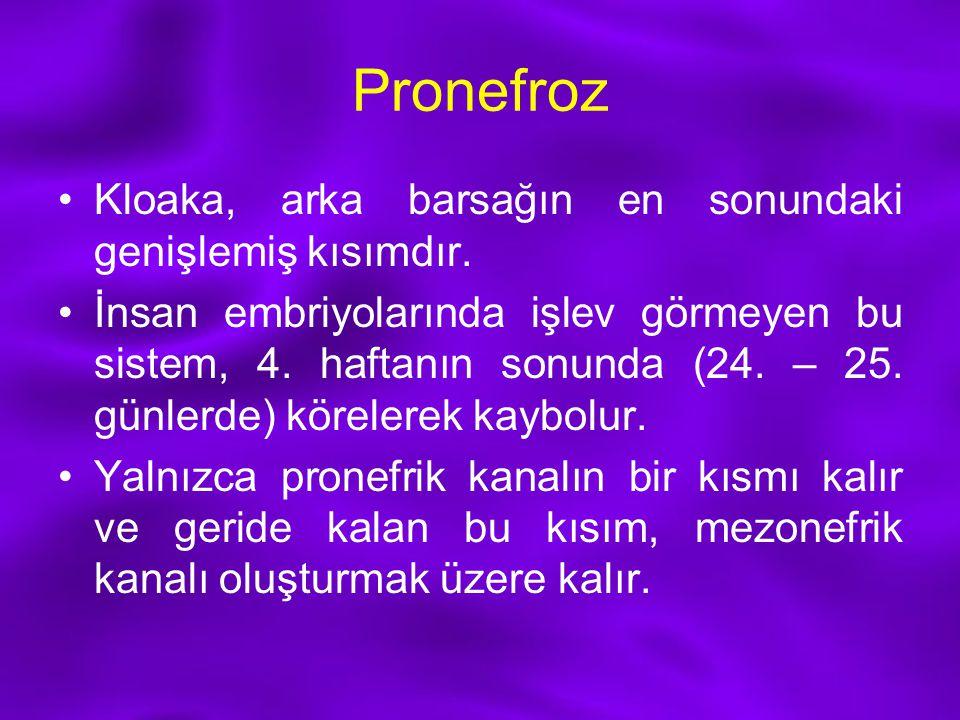 Pronefroz Kloaka, arka barsağın en sonundaki genişlemiş kısımdır. İnsan embriyolarında işlev görmeyen bu sistem, 4. haftanın sonunda (24. – 25. günler