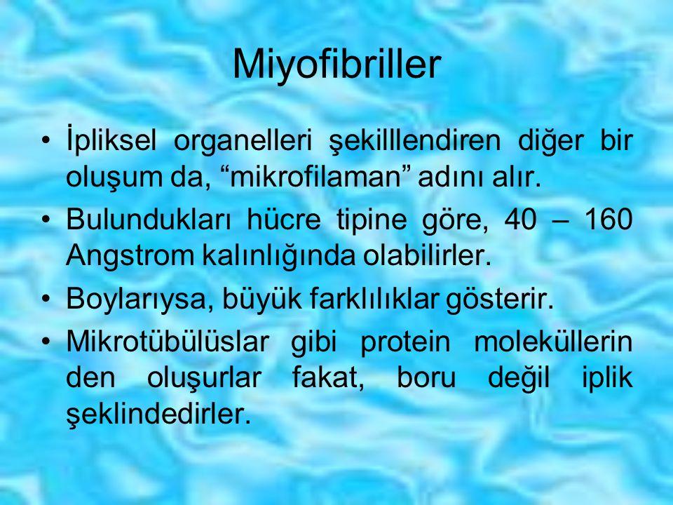 """Miyofibriller İpliksel organelleri şekilllendiren diğer bir oluşum da, """"mikrofilaman"""" adını alır. Bulundukları hücre tipine göre, 40 – 160 Angstrom ka"""