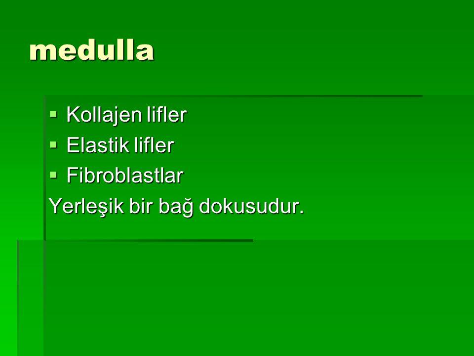medulla  Kollajen lifler  Elastik lifler  Fibroblastlar Yerleşik bir bağ dokusudur.