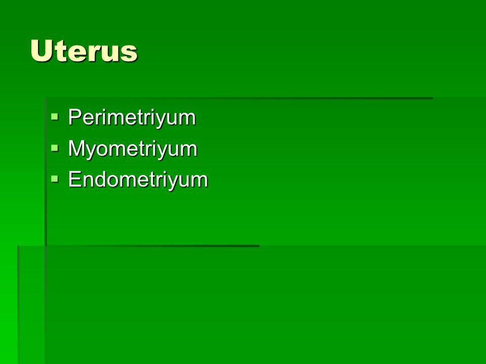 Uterus  Perimetriyum  Myometriyum  Endometriyum