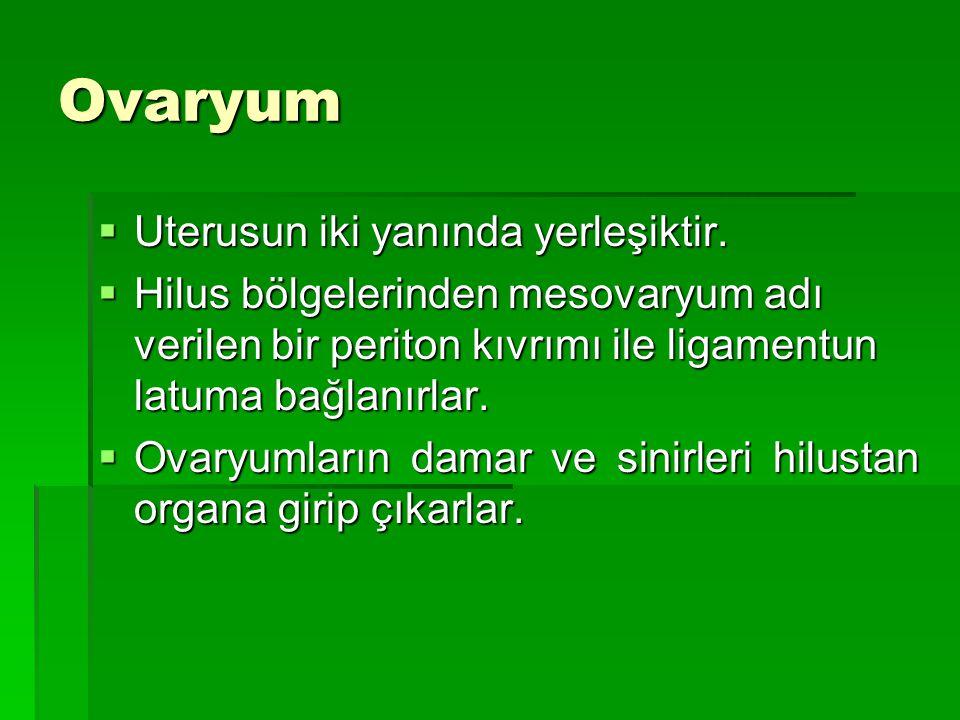 Ovaryum  Uterusun iki yanında yerleşiktir.  Hilus bölgelerinden mesovaryum adı verilen bir periton kıvrımı ile ligamentun latuma bağlanırlar.  Ovar