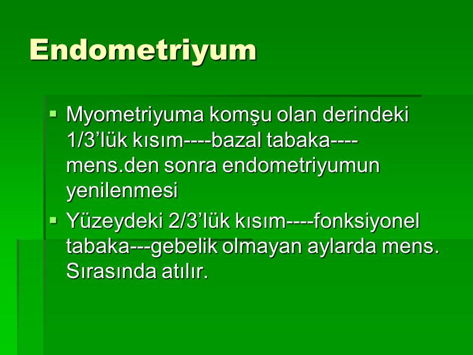 Endometriyum  Myometriyuma komşu olan derindeki 1/3'lük kısım----bazal tabaka---- mens.den sonra endometriyumun yenilenmesi  Yüzeydeki 2/3'lük kısım