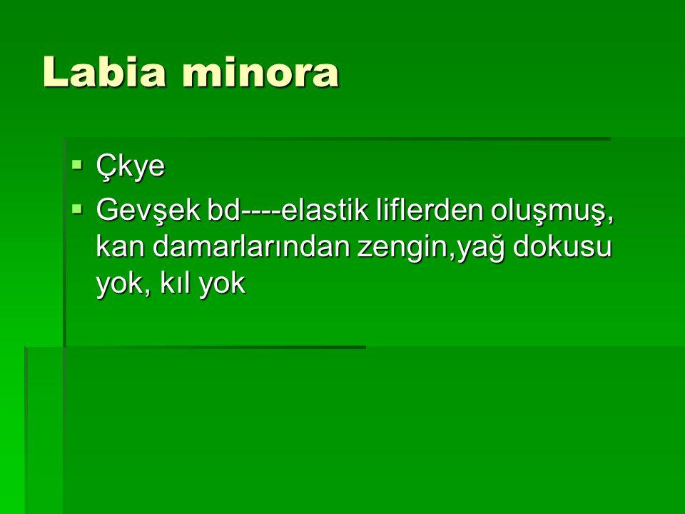 Labia minora  Çkye  Gevşek bd----elastik liflerden oluşmuş, kan damarlarından zengin,yağ dokusu yok, kıl yok