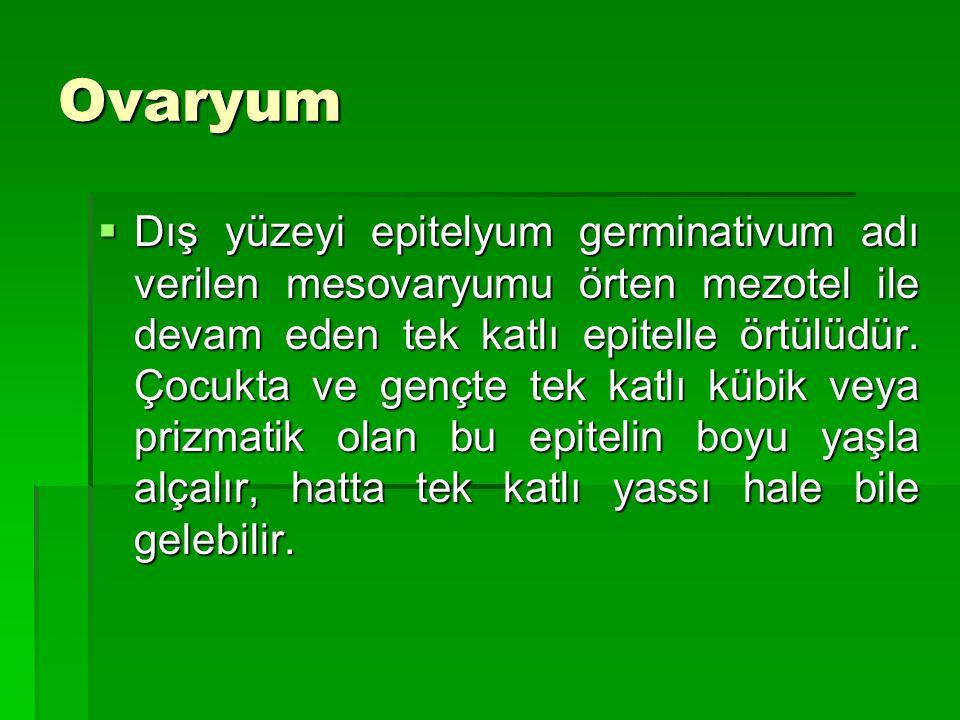 Ovaryum  Dış yüzeyi epitelyum germinativum adı verilen mesovaryumu örten mezotel ile devam eden tek katlı epitelle örtülüdür. Çocukta ve gençte tek k