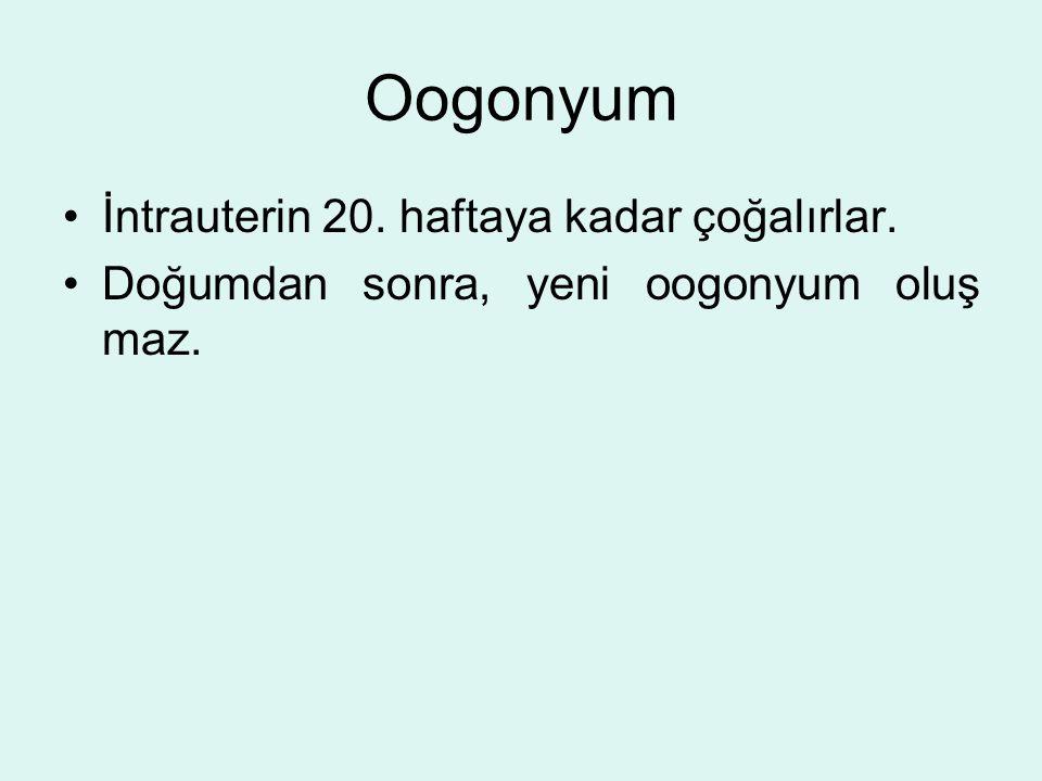 Oogonyum İntrauterin 20. haftaya kadar çoğalırlar. Doğumdan sonra, yeni oogonyum oluş maz.