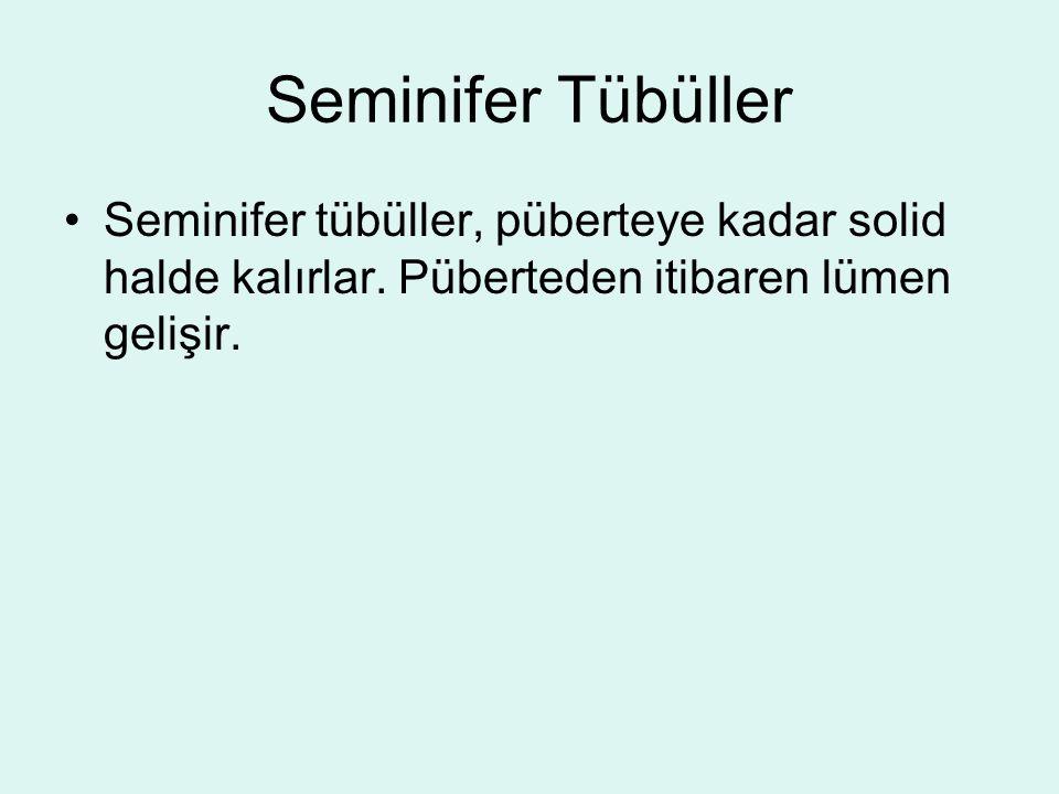 Seminifer Tübüller Seminifer tübüller, püberteye kadar solid halde kalırlar. Püberteden itibaren lümen gelişir.
