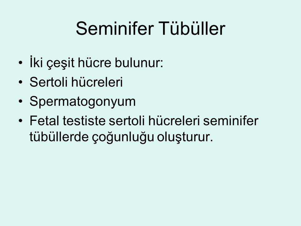 Seminifer Tübüller İki çeşit hücre bulunur: Sertoli hücreleri Spermatogonyum Fetal testiste sertoli hücreleri seminifer tübüllerde çoğunluğu oluşturur