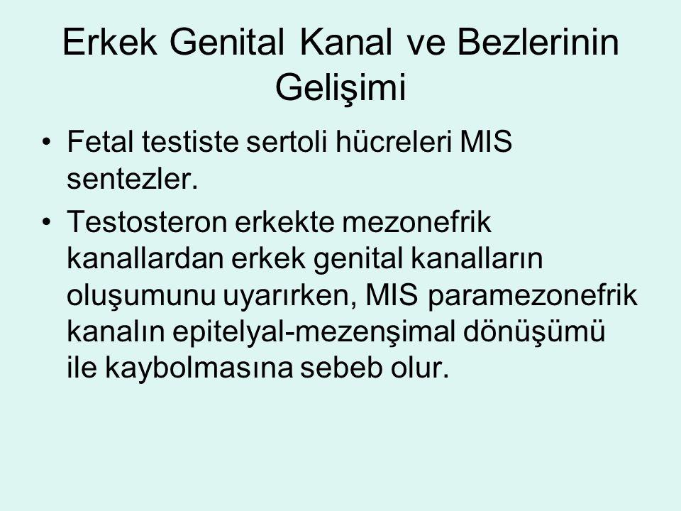 Erkek Genital Kanal ve Bezlerinin Gelişimi Fetal testiste sertoli hücreleri MIS sentezler. Testosteron erkekte mezonefrik kanallardan erkek genital ka